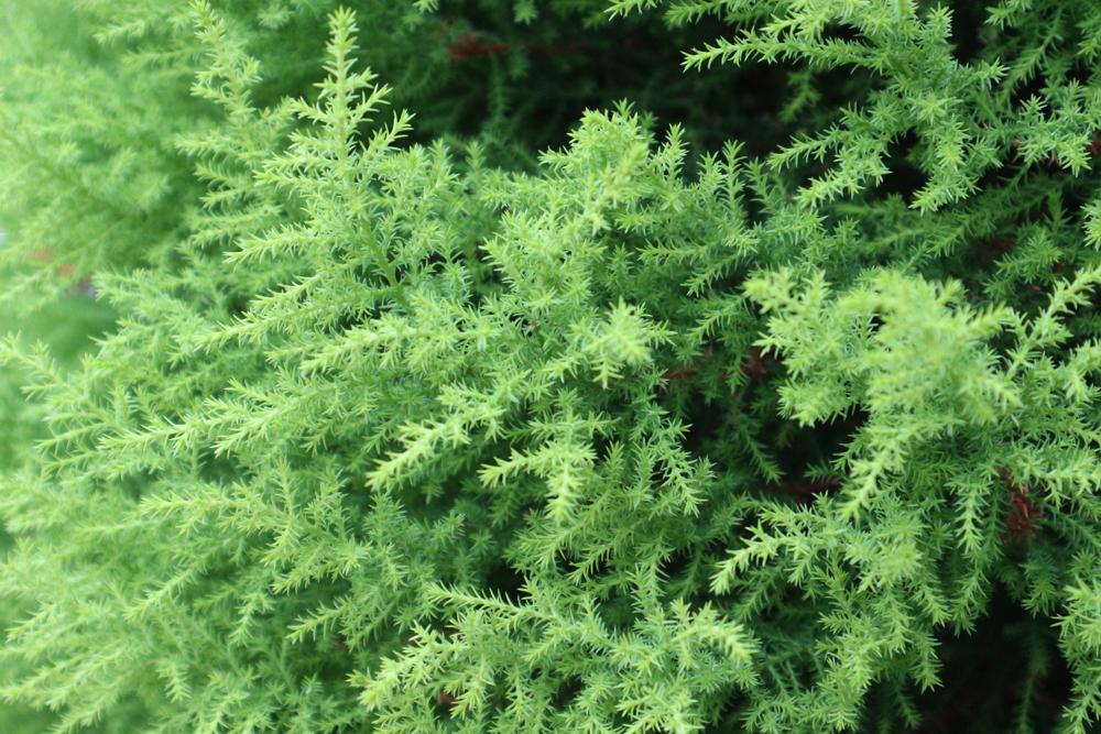 きめ細かい葉の樹木
