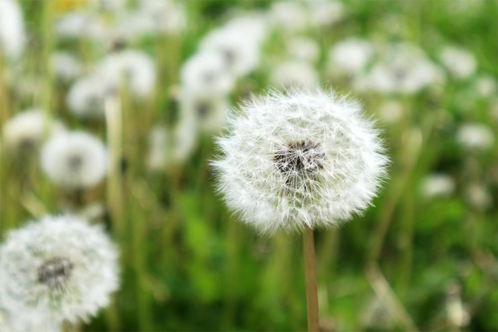 タンポポの綿花