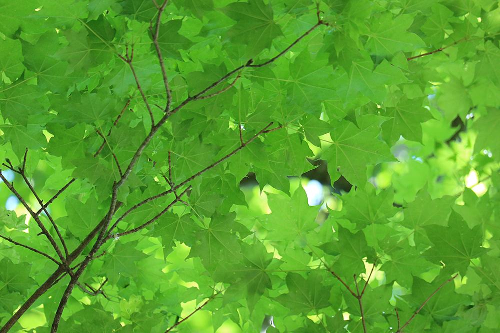 新緑色の楓