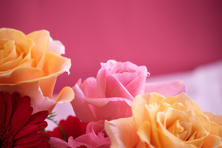 バラの花(ピンク)