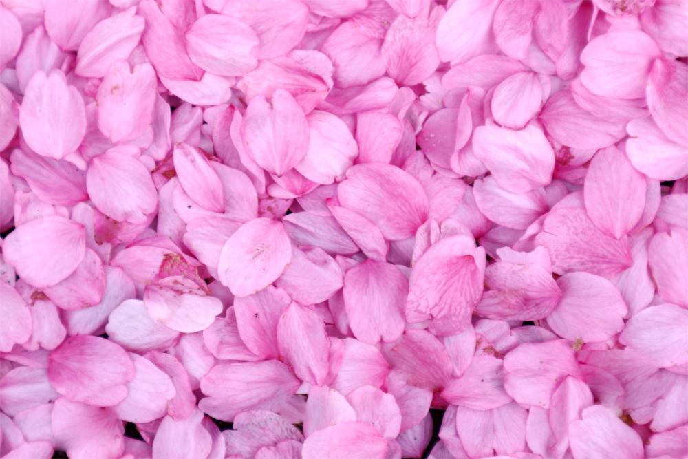 桜の花びら/濡れた、落ちたサクラ/テクスチャ