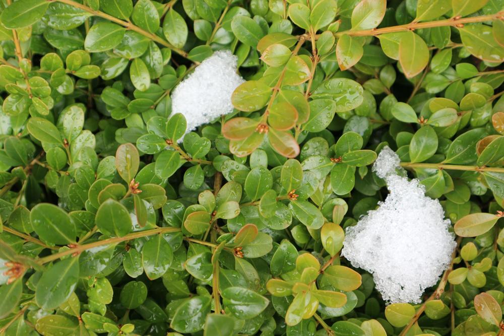 雪の積もった植物のテクスチャ