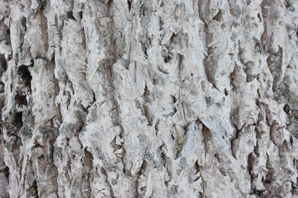 木の皮のテクスチャ(白)